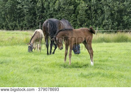 A Colt Is Looking Very Boldly At The Photographer, In The Background A Mare With Foal In The Pasture