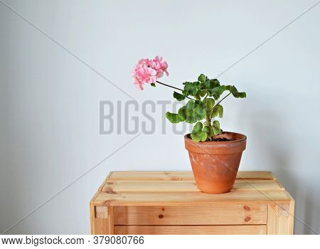 Blooming Pink Pelargonium House Plants In Terracotta Pot On Wooden Box Over White