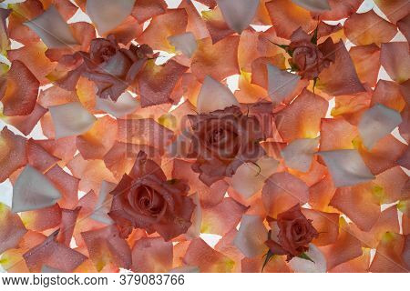 Fresh Roses And Petals On A White Background. Petals Are Transparent With Veins. Flowers Background