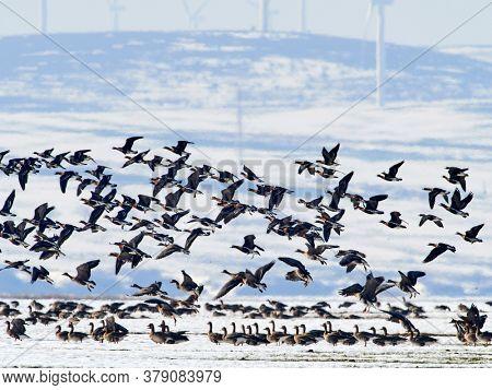 flock of wild geese (branta ruficollis) in natural habitat in winter