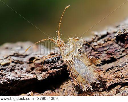 Phyllomorpha laciniata (the golden egg bug) in natural habitat