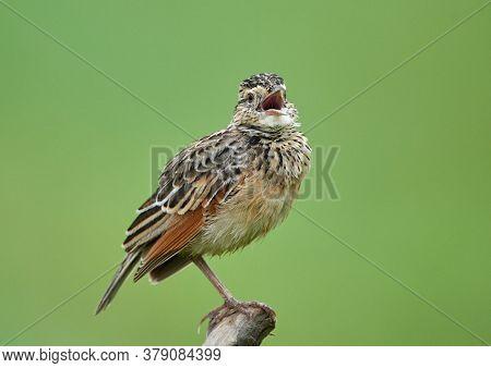 lark in natural habitat (mirafra cantillans)