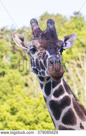 Rothschild's Giraffe - Giraffa Camelopardalis Rothschildi - Head Portrait. The Background Is Blurred