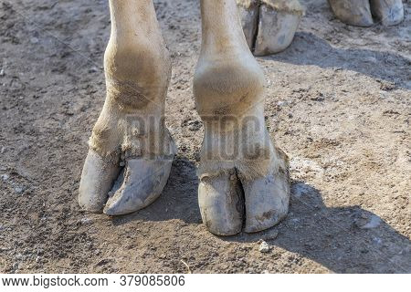 Detail Of The Hooves Of A Giraffe Standing On A Sandy Path.