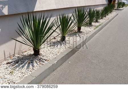 Young Green Yucca Border, Decorated With White Gravel