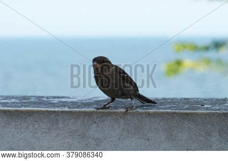 Sparrow On A Stone Parapet Against The Background Of The Sea.