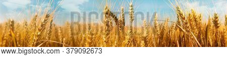 Saisonal Wheat Field In Luminous Golden Colors. Close-up With Short Depth Of Field And Abstract Boke