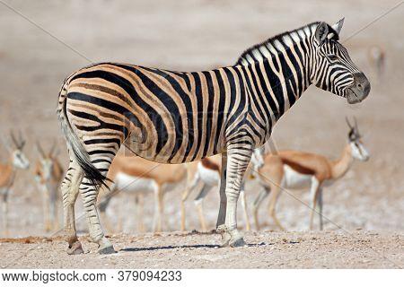 A plains zebra (Equus burchelli) and springbok antelopes, Etosha National Park, Namibia