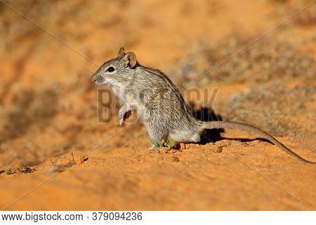 A small striped mouse (Rhabdomys pumilio) in natural habitat, South Africa