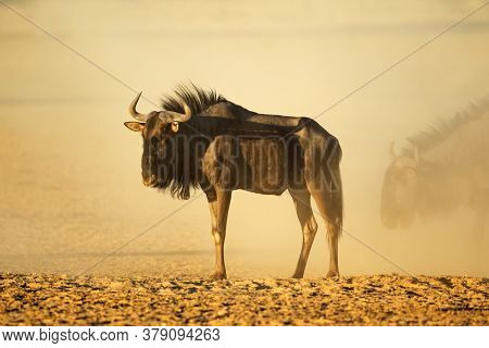A blue wildebeest (Connochaetes taurinus) in dust at sunset, Kalahari desert, South Africa