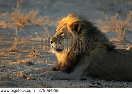 Big male African lion (Panthera leo) in early morning light, Kalahari desert, South Africa