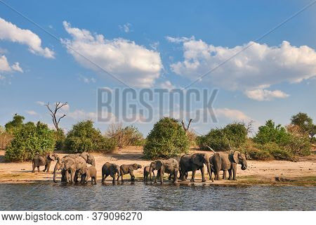 A Herd Of Elephants Goes To Drink At The Chobe River In Botswana.