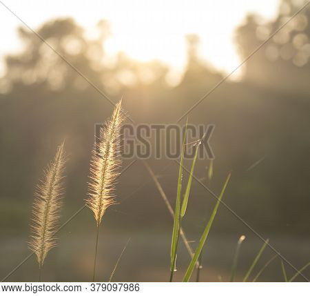 Wild Grass During Sunrise. Soft Sun Rays, Warm Toning, Lens Flare. Copy Space