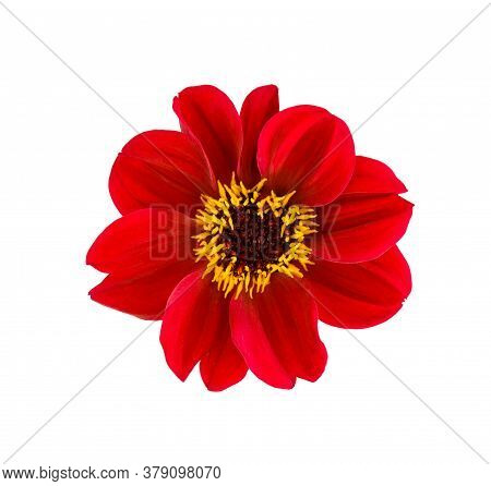 Dahlia Flower. Red Dahlia Flower Isolated On White Background, With Clipping Path. Top View.