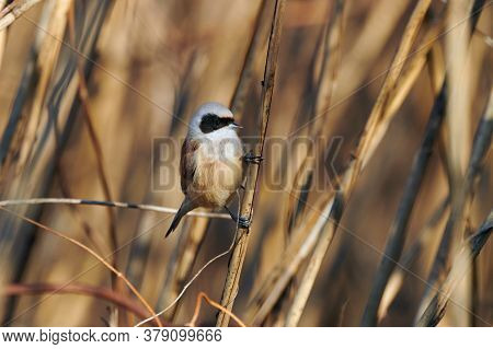 The Passirine Bird Eurasian Penduline Tit (ramirez Pendulinus), In A Reed.