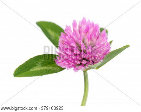 Clover Flower On A Stem With Green Leaves, Isolated On White Background.