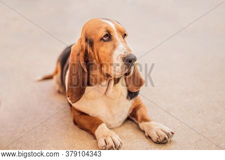 Dog Basset Hound Sitting And Looks At The Camera