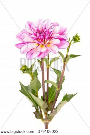 Dahlia Flower. Pink Dahlia Flower With Green Leaves, Isolated On White Background, With Clipping Pat