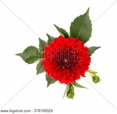 Dahlia Flower. Red Dahlia Flower With Green Leaves, Isolated On White Background, With Clipping Path