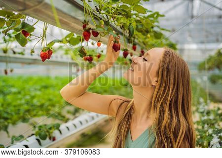 Woman Picking Strawberries At Hydroponic Farm In The Greenhouse