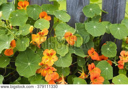Nasturtium In Glory By A Cedar Fence In Raised Garden,