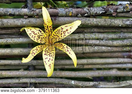 A Yellow Lily With An Orange Speck Bloomed In The Cracks Between The Wicker Fence
