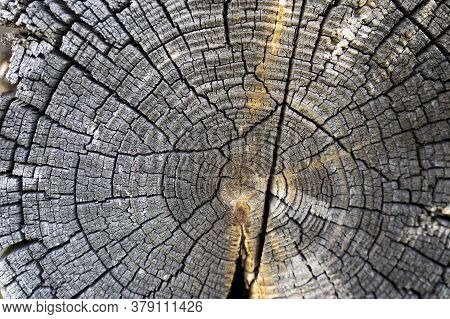 Round Wooden Saw Cut Of An Old Pine Tree With Annual Rings.