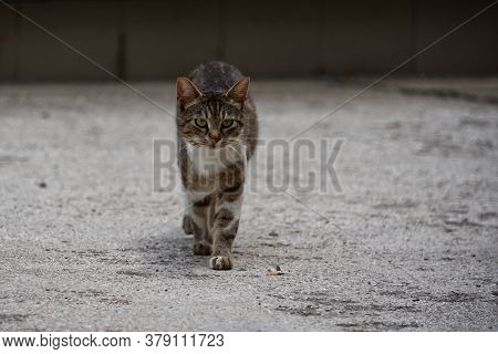 Walking Stray Cat, Pet Portrait Of Young Male Cat. Focus On Foreground