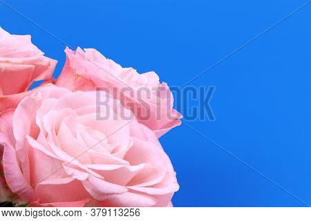 A Pink Rose Isolated On Blue Background. Pink Flowers Isolated. Flat Lay. Copy Space. Postcard. Plac