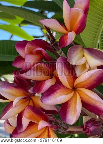 Close-up Of A Pink Tropical Frangipani Flower, Fragrant Bloom To Create An Atmosphere Of Relaxation.