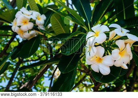 White Tropical Frangipani Flower, Fragrant Bloom To Create An Atmosphere Of Relaxation And Pleasure.