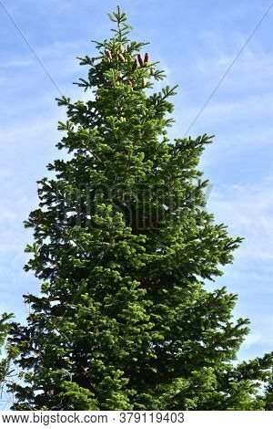 White Fir Tree Needle Conifer Evergreen Nordmann