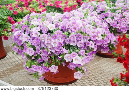 Petunia, Petunias In The Tray,petunia In The Pot, Purple Lilac Petunia