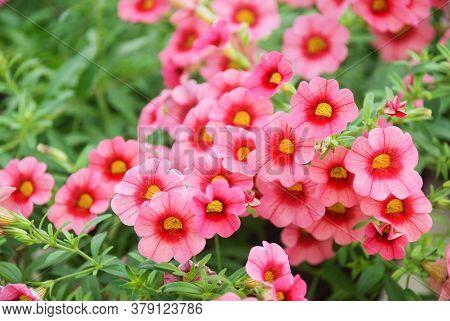 Petunia, Petunias In The Tray,petunia In The Pot, Rose Pink Petunia