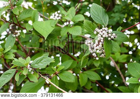 Close-up Of White Berries Of A Redtwig Dogwood Or Cornus Sericea