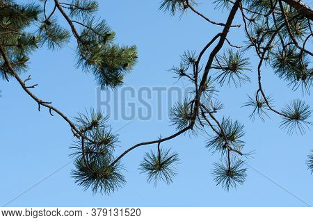 Twigs Of A Scots Pine, Pinus Sylvestris, With Long Green Needles