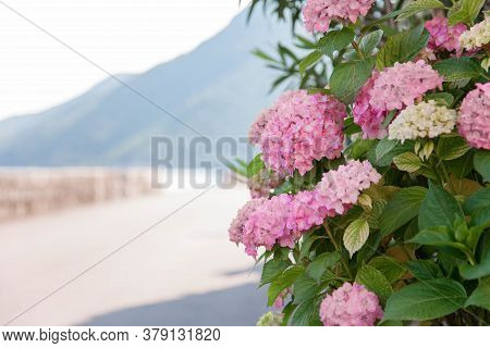 Pink Bush Of Hydrangea. Flowerbed At Town Street By Mountains. Flowers Blooming In Summer And Spring