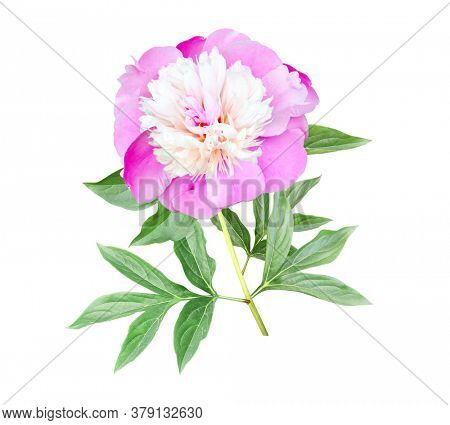 Branch of peony (Paeonia) with pink flower. Isolated on white background