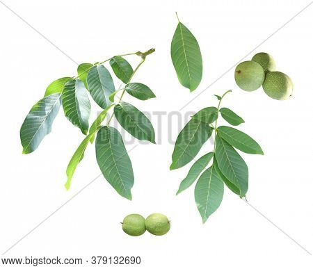 Branch with leaves and green walnuts (Juglans regia, Persian walnut, English walnut, Circassian walnut). Set of green branches and ripening fruits. Isolated white background