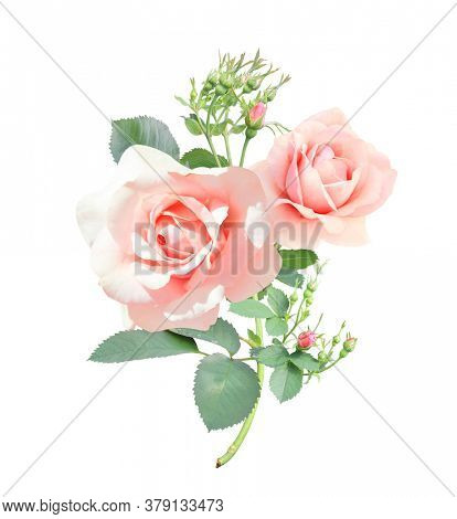 Branch of rose with pink flowers. Isolated on white background