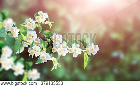 Branch of jasmine (Jasminum) with flowers. Horizontal sunny background with sprig of blooming Jasmine. Mock up template. Copy space for text