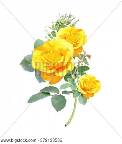 Branch of rose with yellow flowers. Isolated on white background