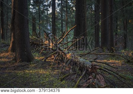 The Fallen Trunk Of The Spruce Is Lit By The Rays Of The Sun In A Dark Old Coniferous Forest