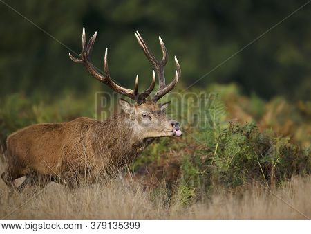 Close-up Of A Red Deer Stag Sticking Out Tongue While Chasing Hinds During Rutting Season In Autumn,
