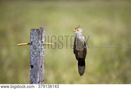 Close Up Of A Guira Cuckoo (guira Guira) Perched On A Fence, South Pantanal, Brazil.