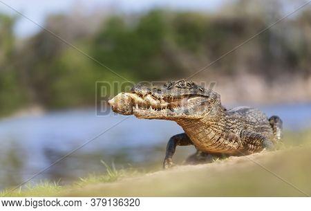 Close Up Of A Yacare Caiman (caiman Yacare) Eating Piranha On A River Bank, South Pantanal, Brazil.