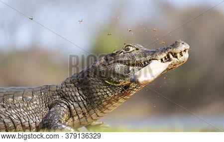 Close Up Of A Yacare Caiman (caiman Yacare) Holding Piranha In Jaws On A River Bank, South Pantanal,