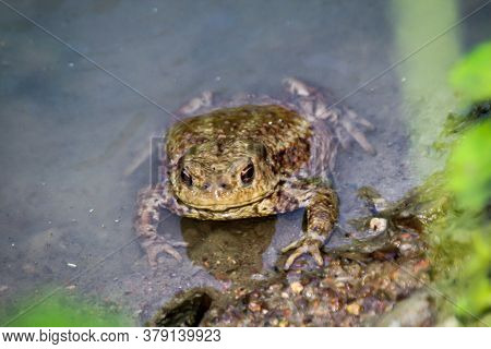 Portrait Of A Toad Bufo Bufo On The Edge Of A Body Of Water.