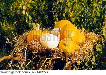 Pumpkins In Wheelbarrow In The Straw In Vermont