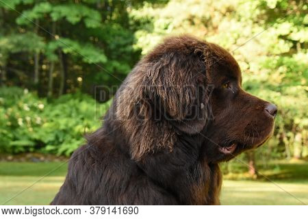 Fantastic Side Profile Of A Large Newfoundland Dog.